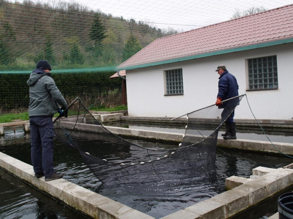 Akcja ratowania pstrągów potokowych: prawie 700 tys. ryb trafiło dodolnośląskich rzek