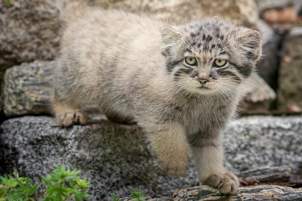 Hodowlany sukces wrocławskiego zoo - dziki kot zAzji