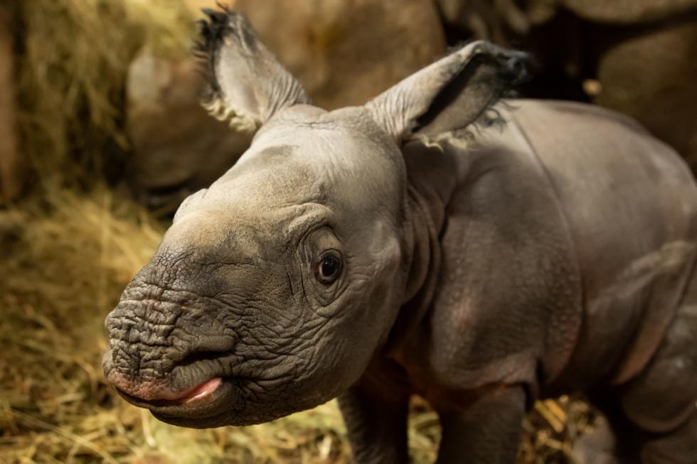 SENSACJA! Na świat, po raz pierwszy weWrocławiu, przyszedł nosorożec indyjski